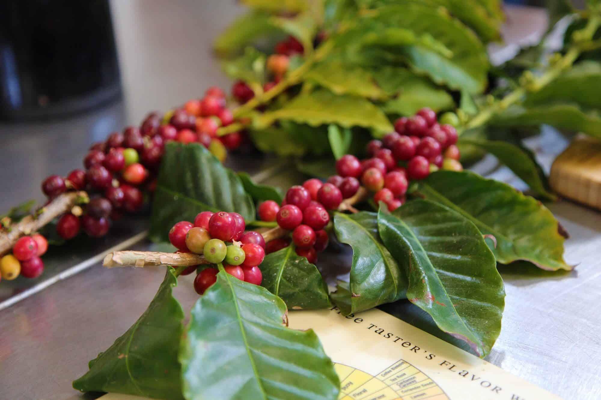 café organico comprar
